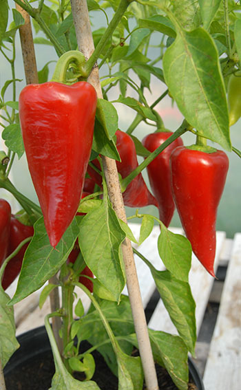 sakura sweet pepper