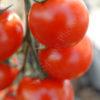 sakura tomato