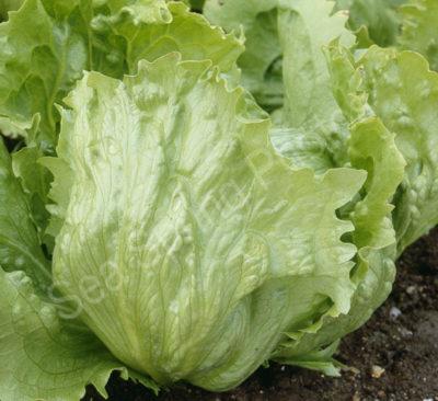 saladin supreme lettuce