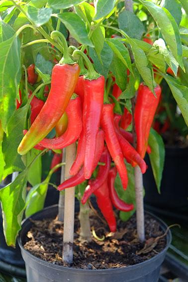 semorah sweet pepper