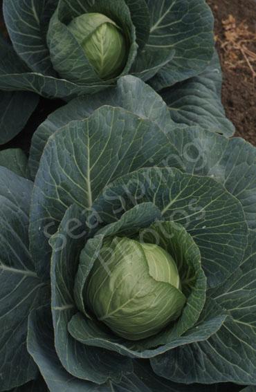 Stonehead cabbage