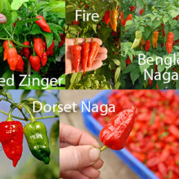 A collection of superhot chillies