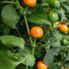 tangerine dream chilli