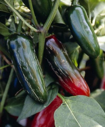 telica chilli