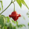 tinkerbell chilli