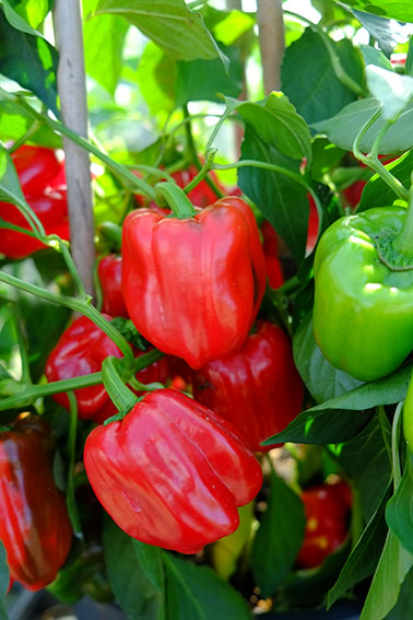 turkish dolma sweet pepper