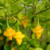 yellow bumpy chilli