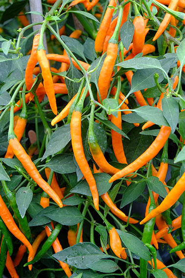 Kilian cayenne chillies