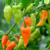 Habanada chillies on a branch