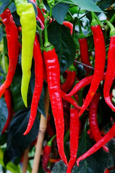 Turkish Delight sweet pepper