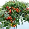 Bush tomatoes var. Red Profusion