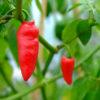 Rocoto long chillies