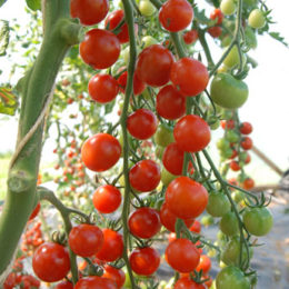 Tomatoes – indeterminate (cordon)