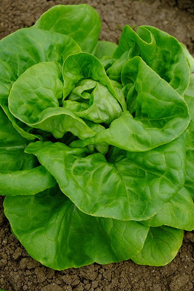 All the year round lettuce