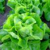 Analena lettuce