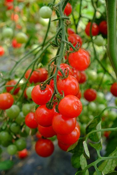 Bite Size tomato