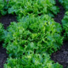 Cancan lettuce