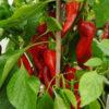 Diablo sweet pepper