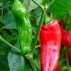 Friggitello sweet pepper