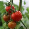 Gardeners' Delight tomato