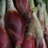 Long Red Florence onions