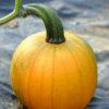 Pumpkin var. Cinnamon Girl