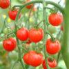 Sweet Apertif tomato