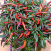 Dusk chilli plant