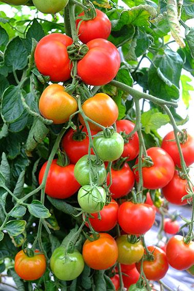 Shirely tomato