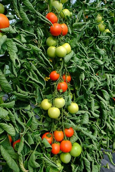 Akron tomatoes