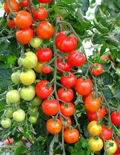 Consuelo tomatoes