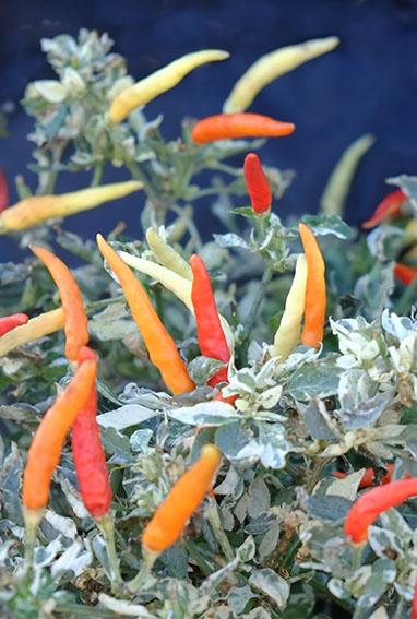 Hot Palette chilli