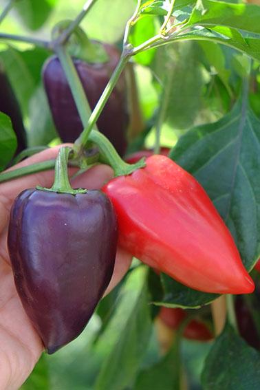 Mayo sweet pepper