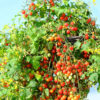 Micro Cherry in a hanging basket