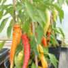 Ohnivec chilli plant