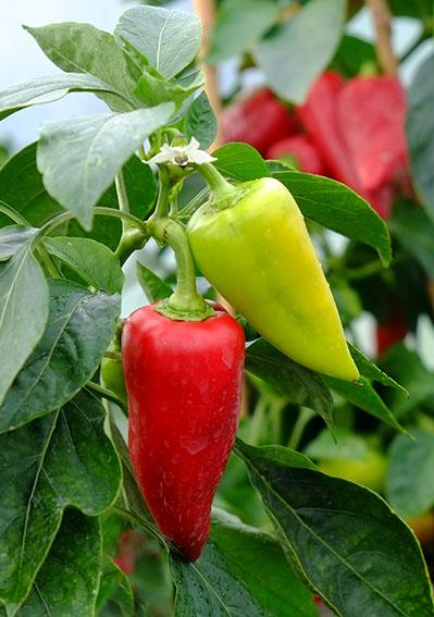 Stryama sweet pepper fruit