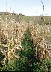 Green manure in a sweet corn crop