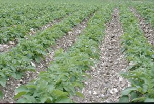 Stony soil with a potato crop
