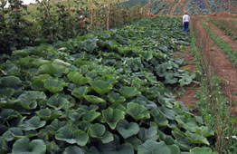Winter squashes with a trailing growth habit