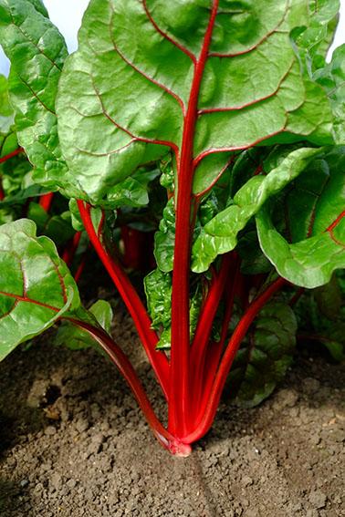 Rhubarb chard var. Elite